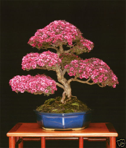 MANUCO bonsai australiano 60 semillas