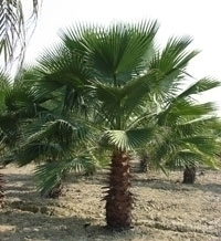 PALMERA DE ABANICOS - Washingtonia 25 Semillas