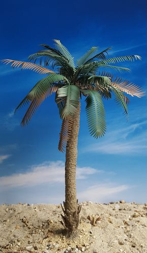 Partly Untrimmed Palm – Jungle, Pacific, Desert, Mediterranean