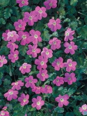 Erodium variabile 'Bishops Form'