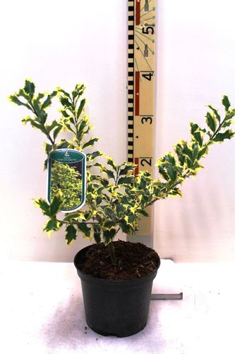 "Ilex aquif. "" Golden DJ"" 2L Pot"