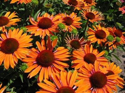 Echinacea Orange Passion (R)