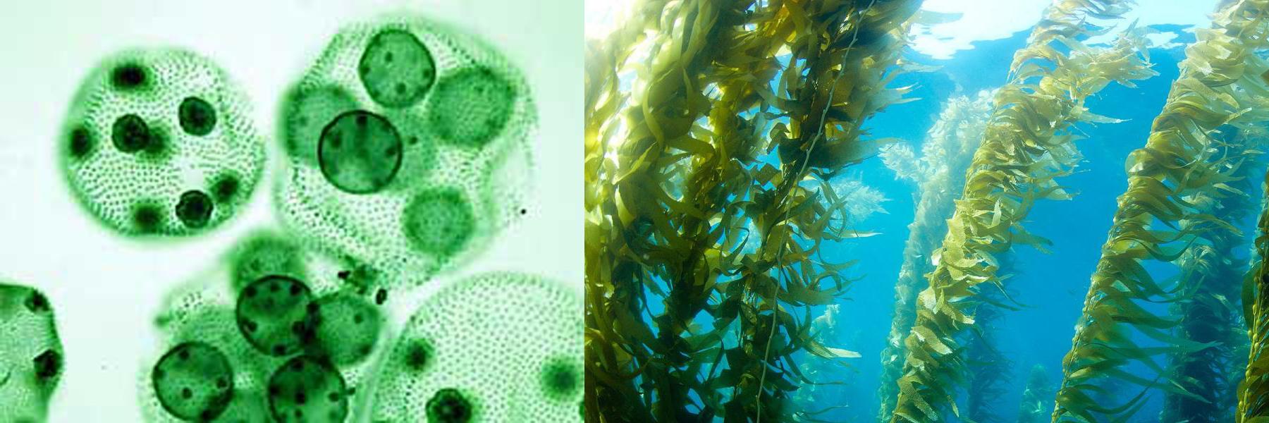 eencellige_alg_en_kelp